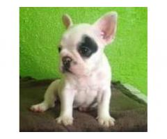 BULL DOG FRANCE, INGLE,PUG CARLINO DESPARACITADOS.TLF.52392777-77622013.