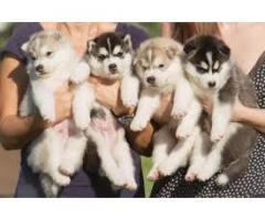Husky siberiano legítimos vacunados 53226765